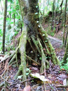 Tree with roots above ground